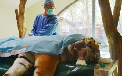 Tratament cu celule stem aplicat în premieră unui tigru siberian